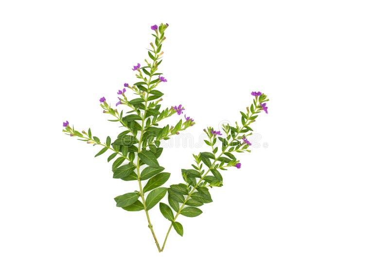Las hojas frescas del verde ramifican y pican la flor aislada en el fondo blanco del fichero con la trayectoria de recortes fotografía de archivo libre de regalías