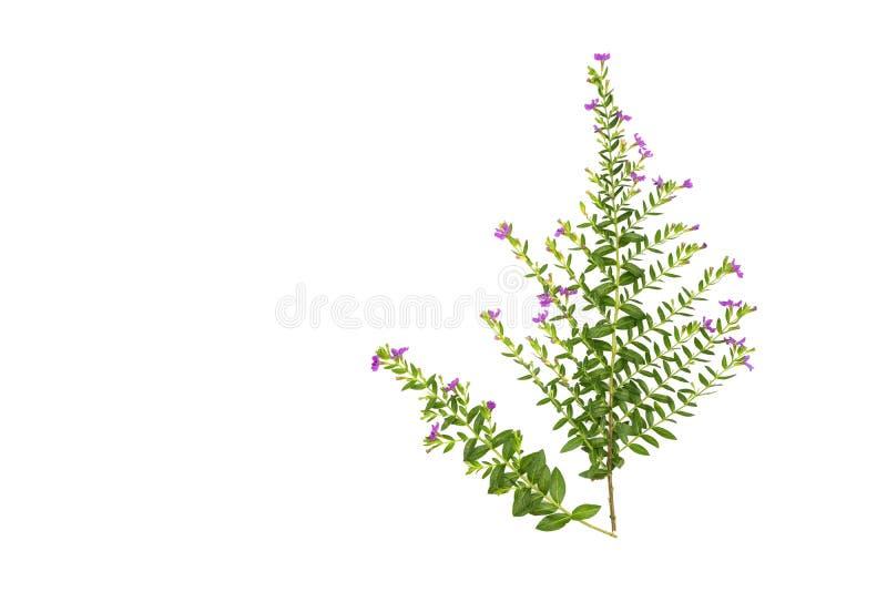 Las hojas frescas del verde ramifican y pican la flor aislada en el fondo blanco del fichero con la trayectoria de recortes foto de archivo
