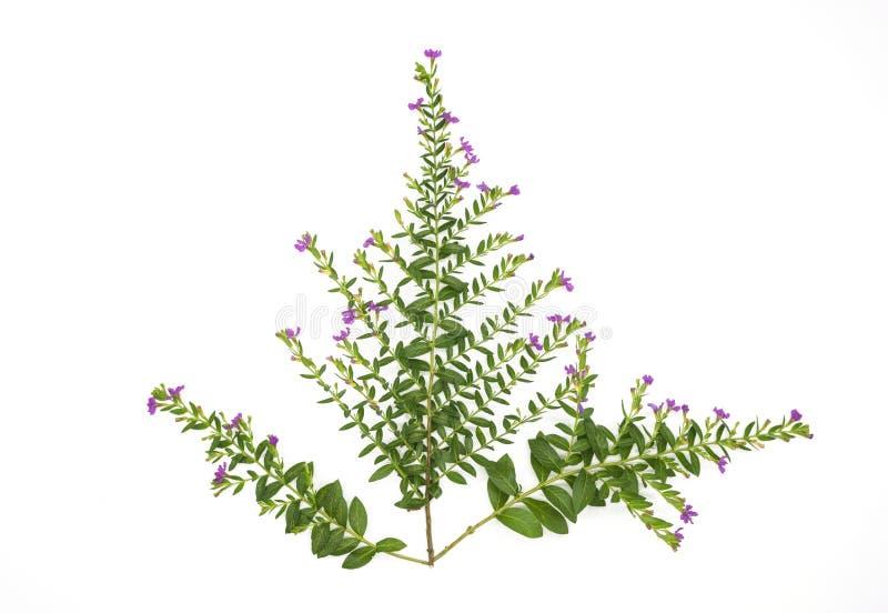 Las hojas frescas del verde ramifican y pican la flor aislada en el fondo blanco del fichero con la trayectoria de recortes foto de archivo libre de regalías
