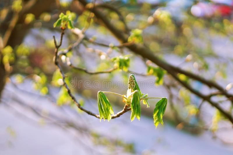Las hojas jovenes de una castaña en la primavera, hojas tempranas en el árbol de castaña foto de archivo