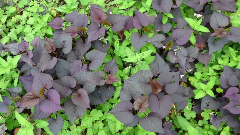 Las hojas p?rpuras de la patata dulce crecen en la hierba fotos de archivo