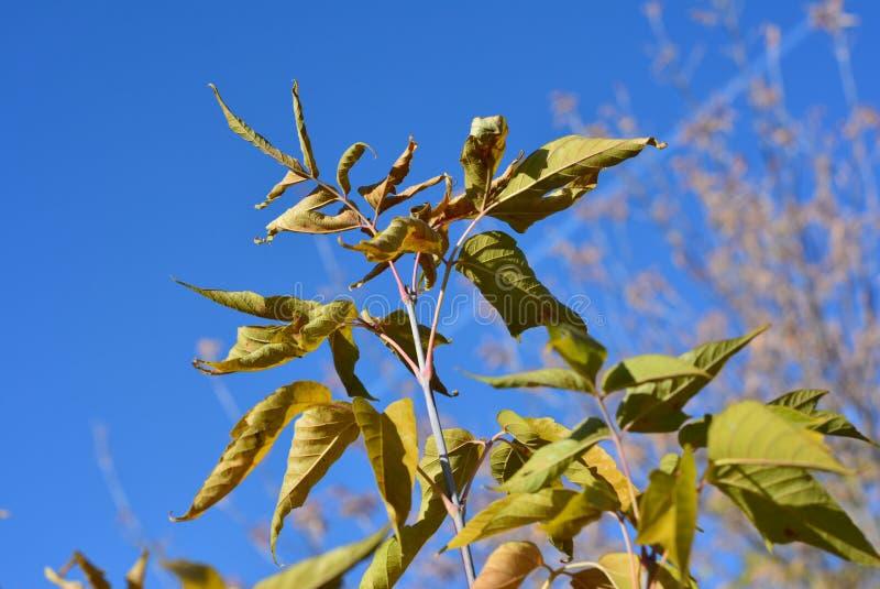 Las hojas que marchitan del arce en fondo del cielo azul imágenes de archivo libres de regalías