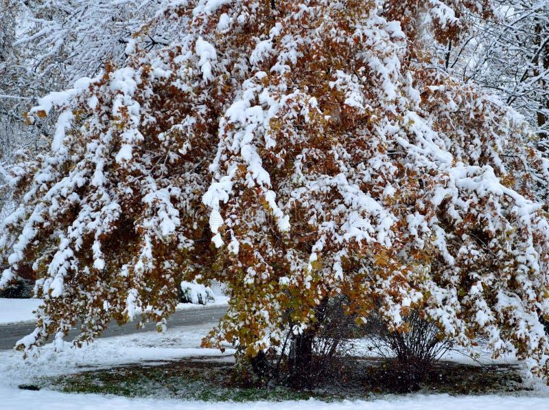 Las hojas rojas del oro del arbusto grande del roble cubrieron en nieve fresca fotos de archivo libres de regalías