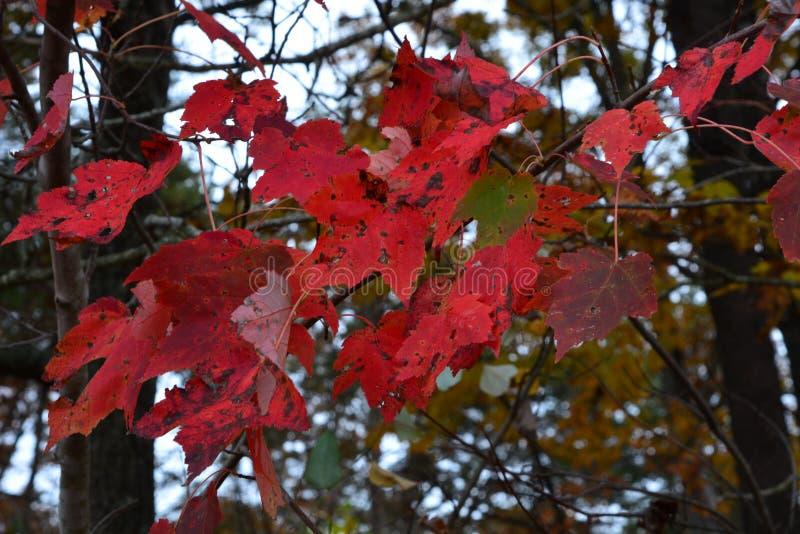 Las hojas rojas señalan el centro de la temporada de otoño en las colinas de Tennessee imagenes de archivo
