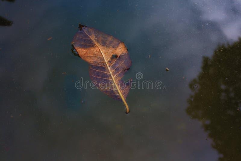 Las hojas secas caen en el agua fotos de archivo