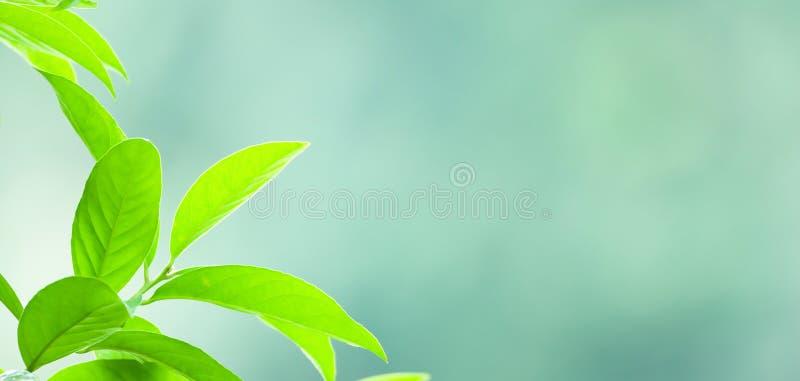 Las hojas tropicales verdes frescas en fondo natural, luz del sol brillante brillan en ramas del árbol salvaje Foco selectivo fotografía de archivo