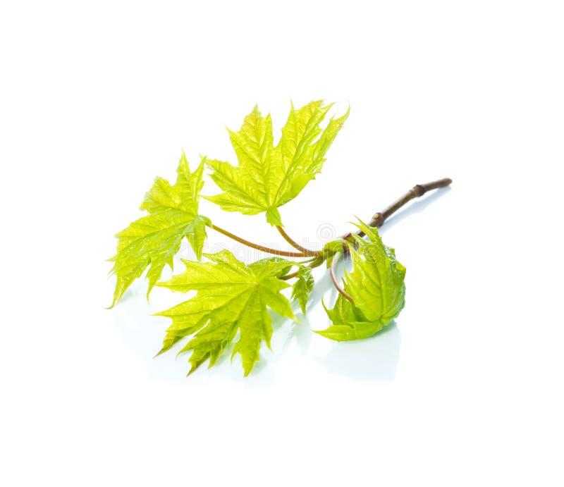 Las hojas verdes de un arce en blanco imagen de archivo libre de regalías