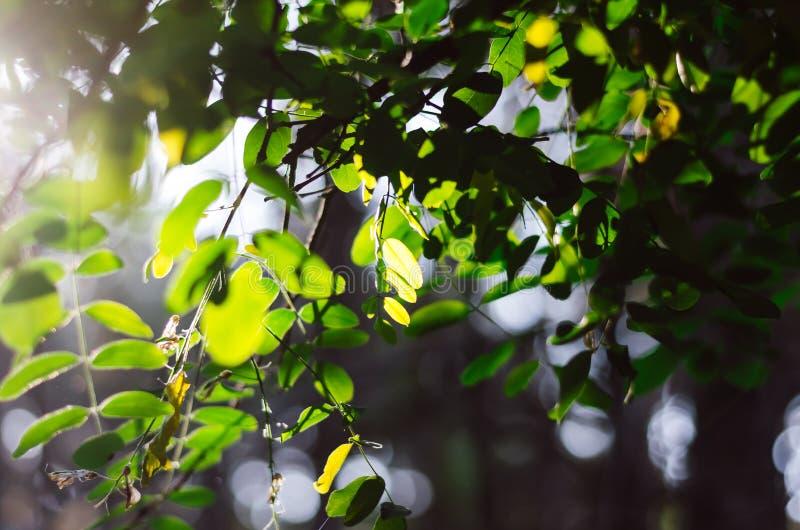 Las hojas verdes del acacia en el sol cambian la paleta de colores foto de archivo libre de regalías