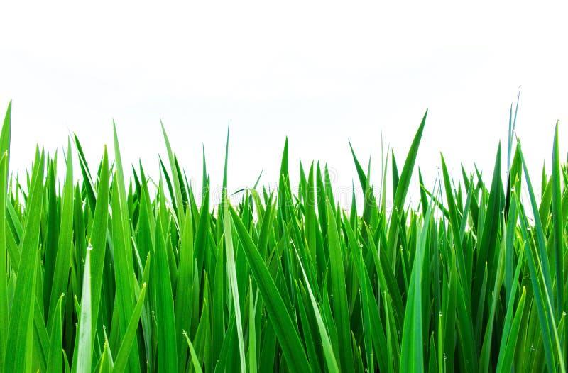 Las hojas verdes del cálamo, erigen las hojas granulosas, blancas ascendentes, verticales del fondo imagen de archivo libre de regalías