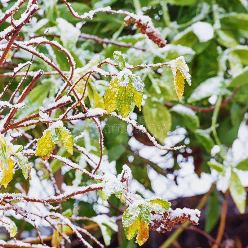 Las hojas verdes y amarillas del arbusto debajo de la primera nieve Fondo Concepto del foco foto de archivo libre de regalías