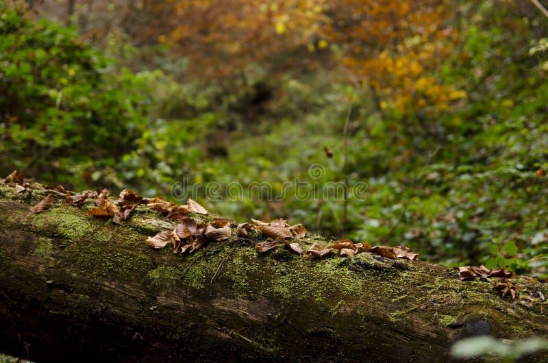 Las hojas viejas en un tronco de árbol caido en otoño se encienden imagenes de archivo