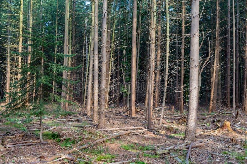 Las Holenderski park narodowy Veluwe z jedlinowymi drzewami obrazy royalty free