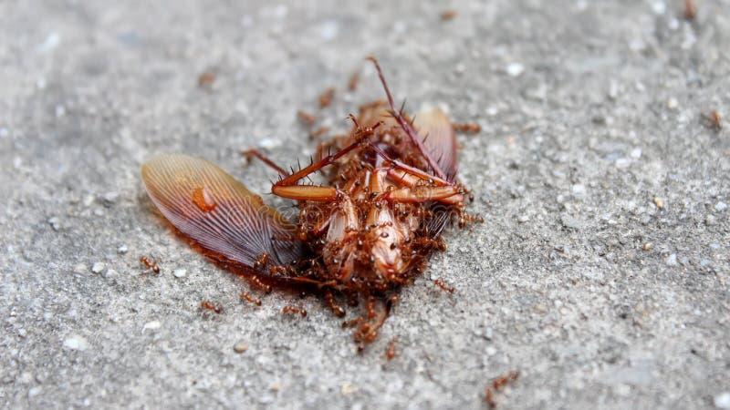 las hormigas comen el insecto muerto imagen de archivo. Black Bedroom Furniture Sets. Home Design Ideas