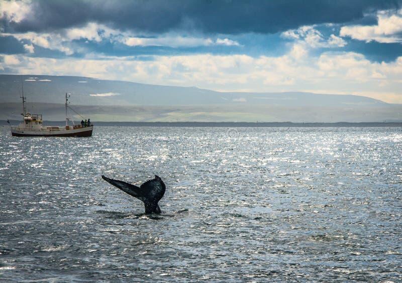 Las huéspedes de un viaje de observación de la ballena observan una ballena jorobada cerca del husavik, Islandia imagen de archivo
