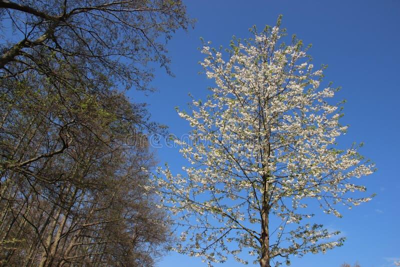 Las I sad Wiśnia Kwitnie kwitnienie Z Pogodnym zdjęcie stock