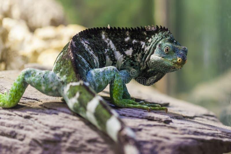 Las Islas Fiji Crested la iguana - especie críticamente en peligro imágenes de archivo libres de regalías