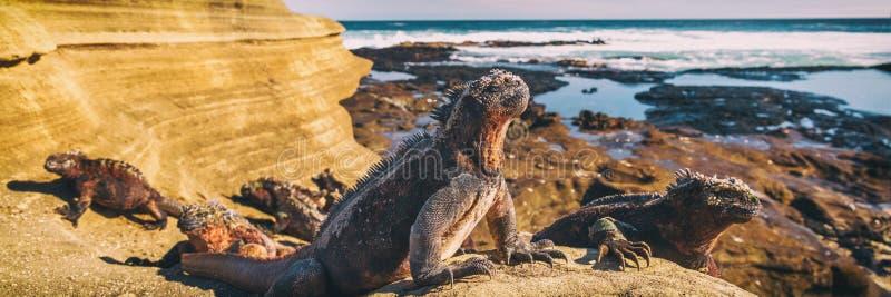 Las Islas Galápagos Marine Iguana - animales y fauna que sorprenden de las islas de las Islas Galápagos imágenes de archivo libres de regalías