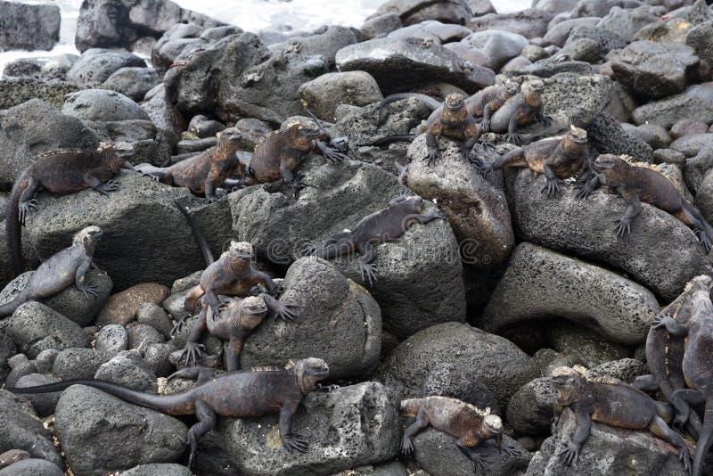 Las Islas Galápagos Marine Iguana Colony fotografía de archivo libre de regalías