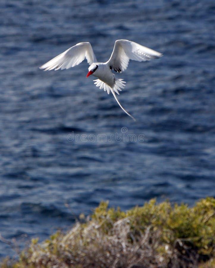 Las Islas Gal3apagos rojo-mandaron la cuenta el pájaro tropical alrededor para aterrizar fotos de archivo