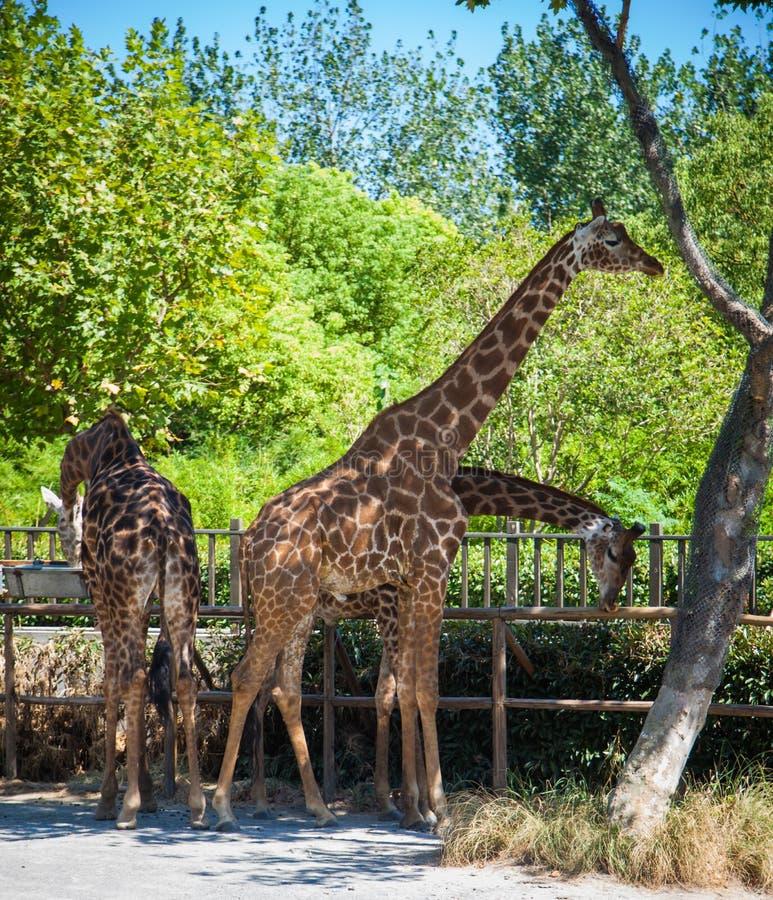 Las jirafas cenan en el parque del safari del parque zoológico en Shangai debajo de la sombra de árboles imagenes de archivo
