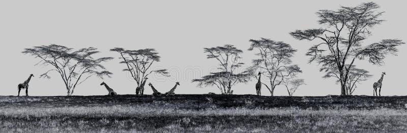 Las jirafas en el safari de Mara del Masai parquean, Kenia, África imagenes de archivo