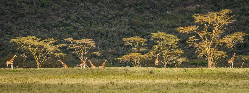 Las jirafas en el safari de Mara del Masai parquean, Kenia, África fotografía de archivo