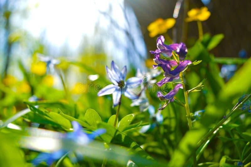 las kwitnie na pogodnym wiosna dniu obraz royalty free