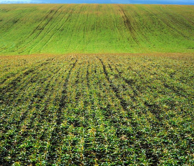 Las Líneas Verdes de lanzamientos jovenes del trigo de invierno en campo grande tejen fotografía de archivo