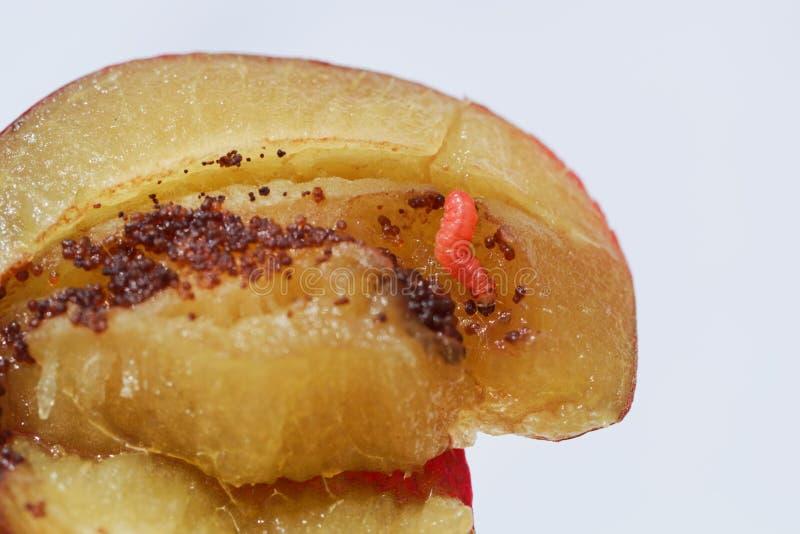 Las larvas de un funebrana de Grapholita de la polilla de la fruta del ciruelo en un ciruelo dan fruto imagenes de archivo