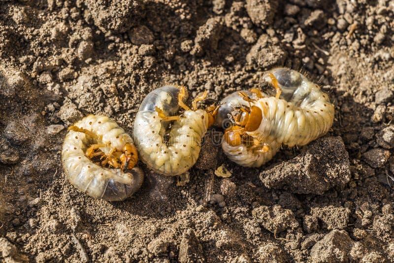 Las larvas del escarabajo de mayo foto de archivo