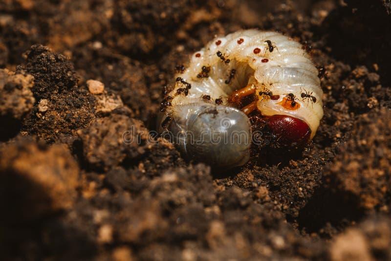 Las larvas del escarabajo de mayo fotos de archivo