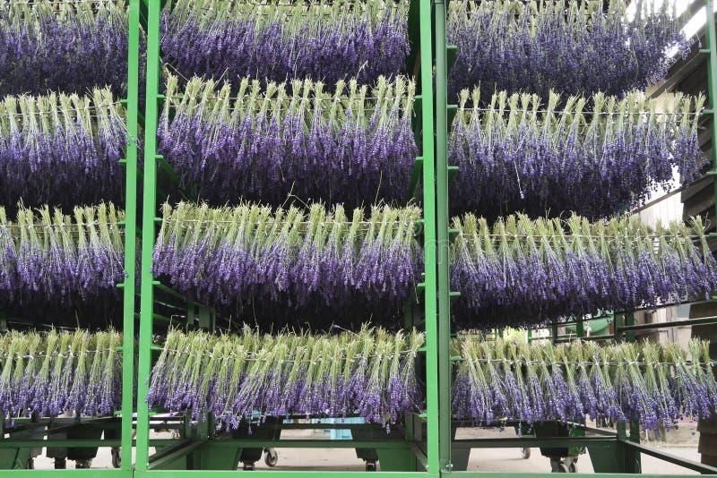 Las lavandas de sequía de la lavanda de Tomita cultivan, Hokkiado foto de archivo