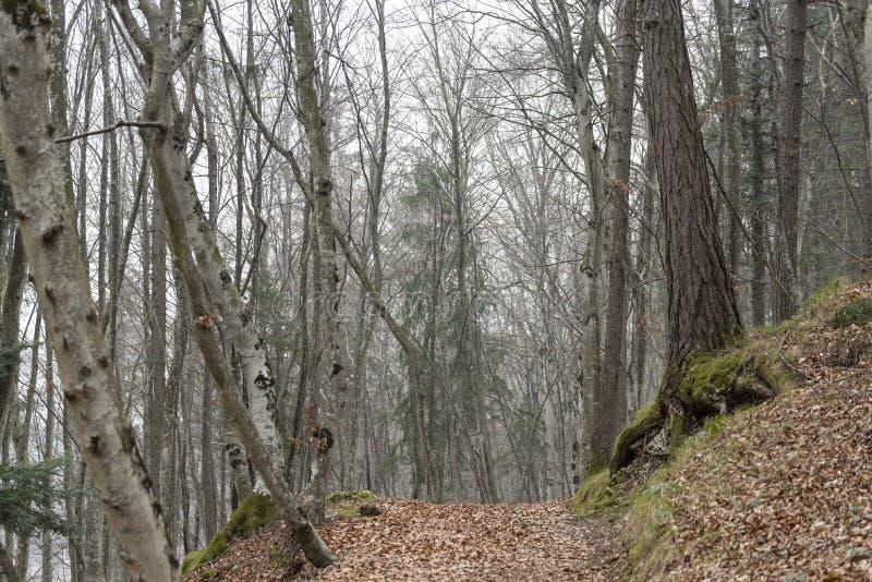 Las leśny w trentyńskim sezonie zimowym obraz royalty free