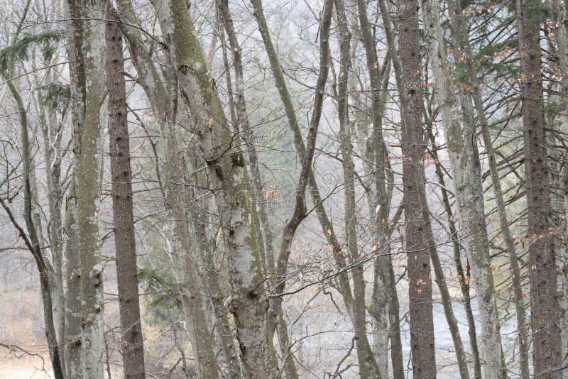 Las leśny w trentyńskim sezonie zimowym zdjęcie royalty free