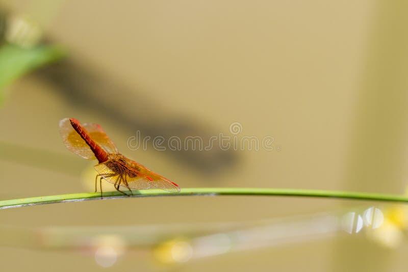 Las libélulas están en la hierba en el agua fotos de archivo libres de regalías