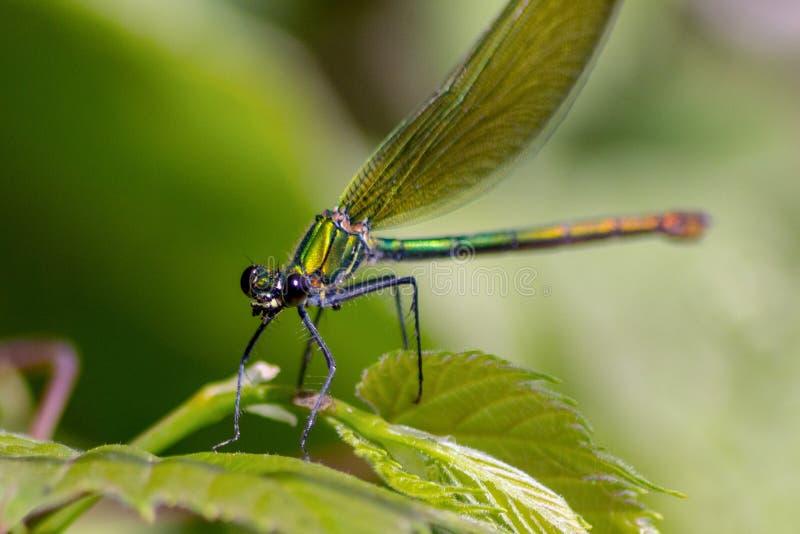 Las libélulas tienen una cabeza muy voluminosa, los ojos compusieron del ommatidia cerca de 50.000 y de antenas relativamente cor fotografía de archivo libre de regalías