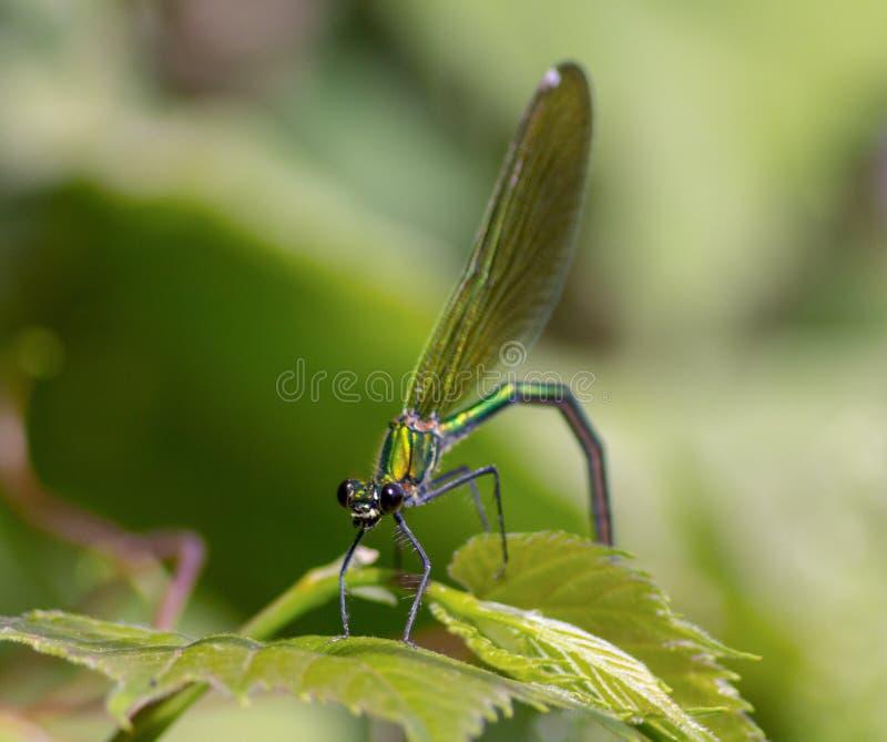 Las libélulas tienen una cabeza muy voluminosa, los ojos compusieron del ommatidia cerca de 50.000 y de antenas relativamente cor imagen de archivo