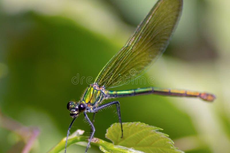 Las libélulas tienen una cabeza muy voluminosa, los ojos compusieron del ommatidia cerca de 50.000 y de antenas relativamente cor fotografía de archivo