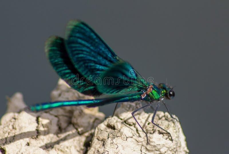 Las libélulas tienen una cabeza muy voluminosa, los ojos compusieron del ommatidia cerca de 50.000 y de antenas relativamente cor imagen de archivo libre de regalías