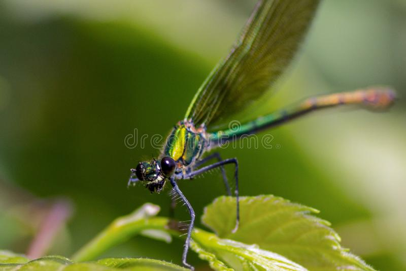 Las libélulas tienen una cabeza muy voluminosa, los ojos compusieron del ommatidia cerca de 50.000 y de antenas relativamente cor fotos de archivo libres de regalías