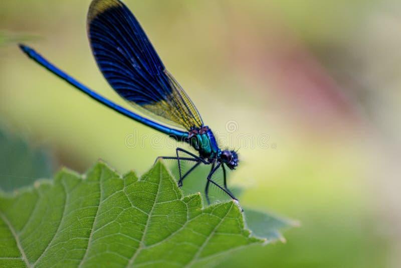 Las libélulas tienen una cabeza muy voluminosa, los ojos compusieron del ommatidia cerca de 50.000 y de antenas relativamente cor foto de archivo libre de regalías