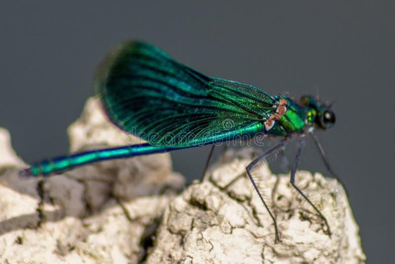 Las libélulas tienen una cabeza muy voluminosa, los ojos compusieron del ommatidia cerca de 50.000 y de antenas relativamente cor imagenes de archivo