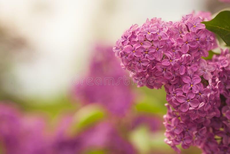 Las lilas vulgaris florecientes del Syringa común forran el cultivar púrpura Paisaje de la primavera con el manojo de flores blan imagen de archivo