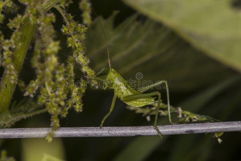 Las máscaras del saltamontes del verde en la hierba foto de archivo libre de regalías