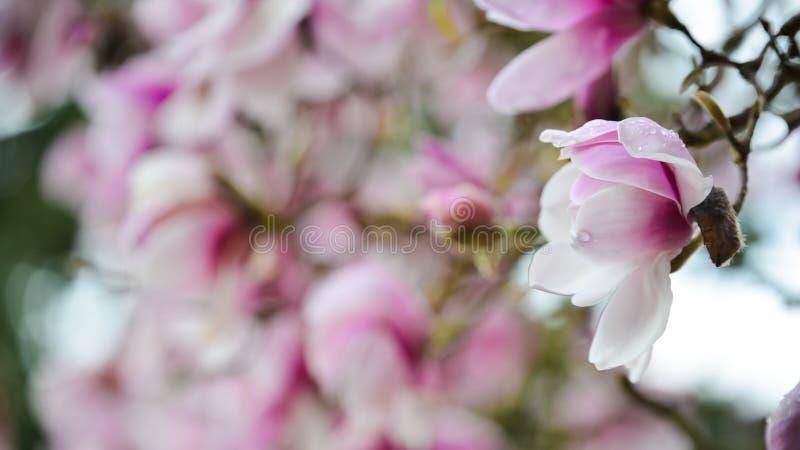 Las magnolias blancas rosáceas en la plena floración después de la lluvia en una mañana hermosa de la primavera en la universidad imagenes de archivo