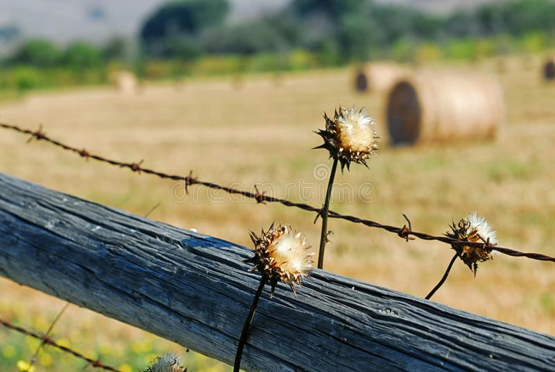 Las malas hierbas bonitas que crecen alrededor de una madera y de un alambre de púas cercan el cerco de un campo del heno cerca d imagen de archivo
