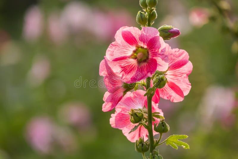 Las malvarrosas rosadas foto de archivo libre de regalías
