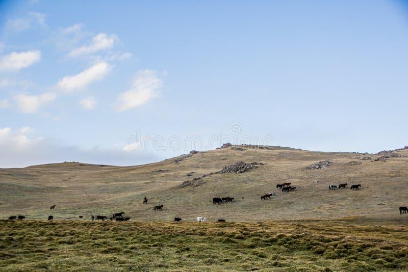 Las manadas acercan a la canción Kol foto de archivo