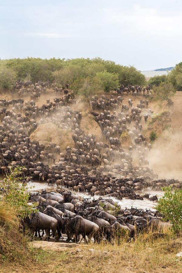 Las manadas enormes de herbívoros cruzan el río Masai Mara, Kenia imagen de archivo libre de regalías