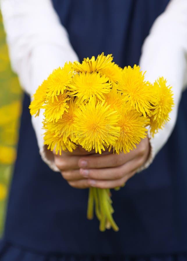 Las manos de la muchacha que sostienen un ramo de dientes de león amarillos brillantes imagenes de archivo